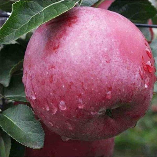 Саженцы яблони Энтерпрайз