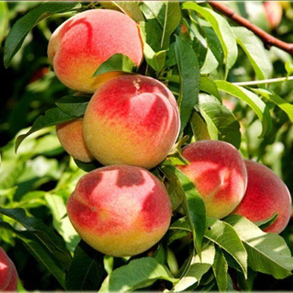 Саженцы персика Алстар