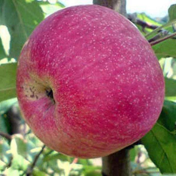 Саженцы яблони Амулет
