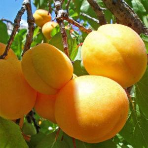 Саженцы абрикоса Ананасный Цюрупинский