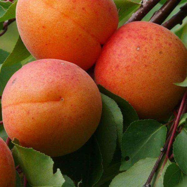 Саженцы абрикоса Аврора