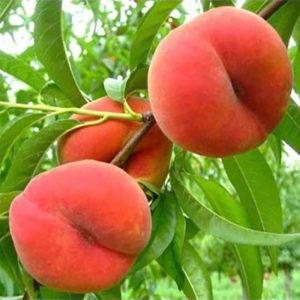 Саженцы персика Бельмондо