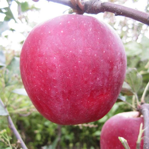 Саженцы яблони Бени Шогун