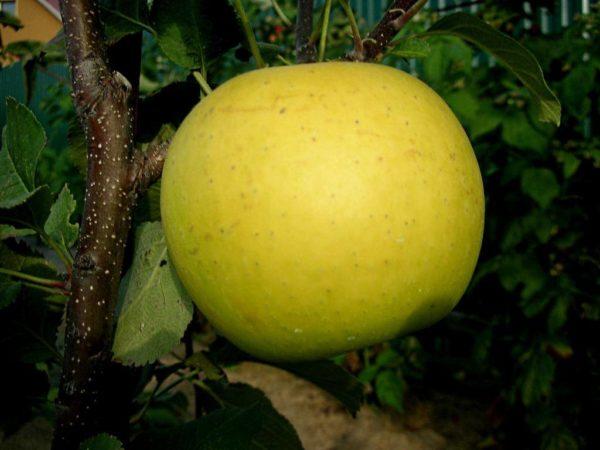 Саженцы яблони Богемия Голд