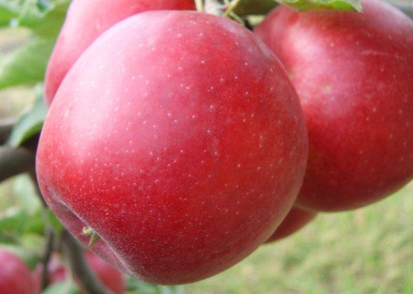 Саженцы яблони Богемия Ред Голд