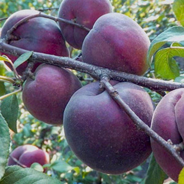 Саженцы абрикоса Черный Принц