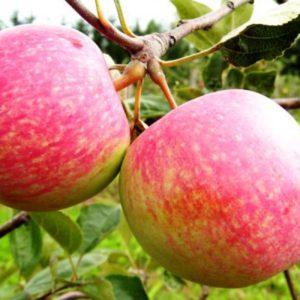 Саженцы яблони Дарк Рубин