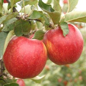 Саженцы яблони Декоста