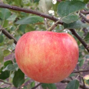Саженцы яблони Деличия