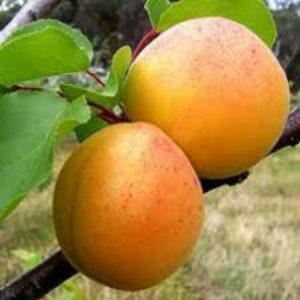 Саженцы абрикоса Джумбо Кот