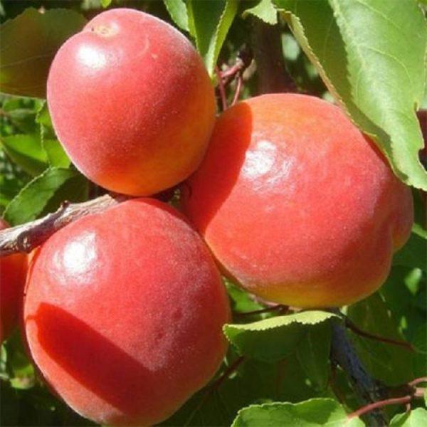 Саженцы абрикоса Ерли Блаш