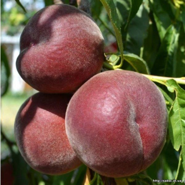 Саженцы персика Эрли Ред
