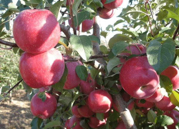 Саженцы яблони Фуджи