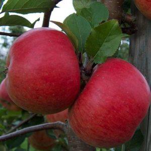 Саженцы яблони Фукутами