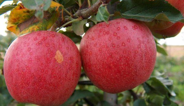 Саженцы яблони Гала Галакси