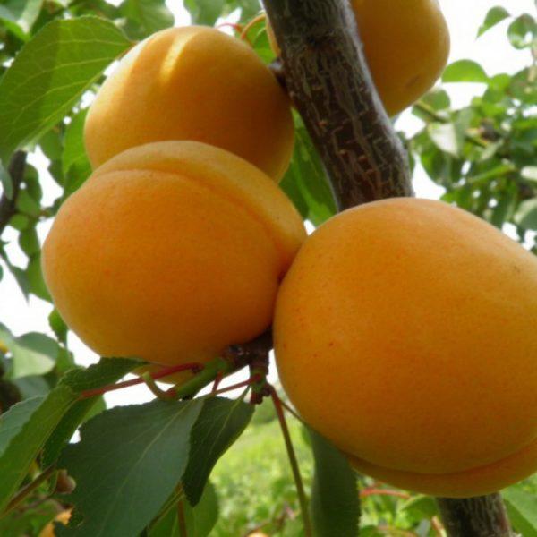 Саженцы абрикоса Харганд Поздний