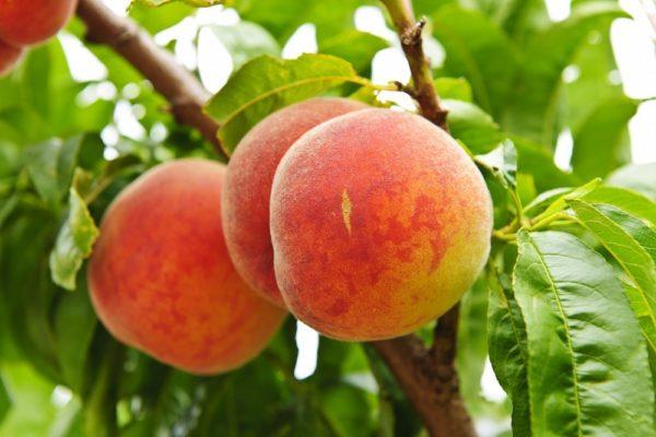 Саженцы персика Харнас