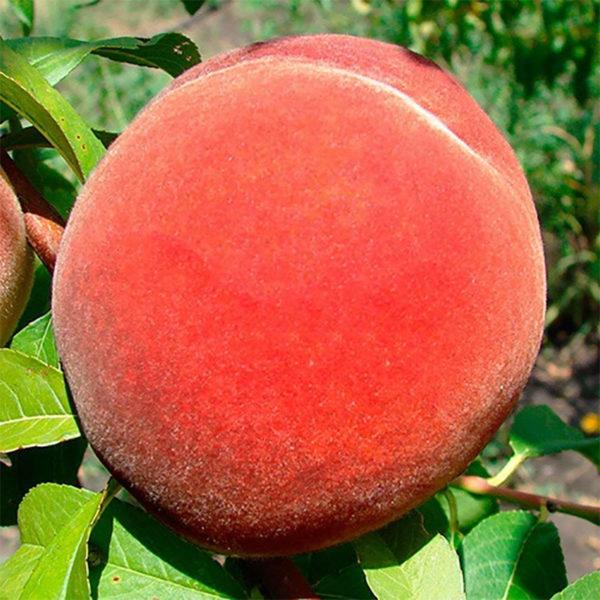 Саженцы персика Инка
