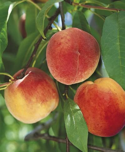 Саженцы персика Июньский Ранний