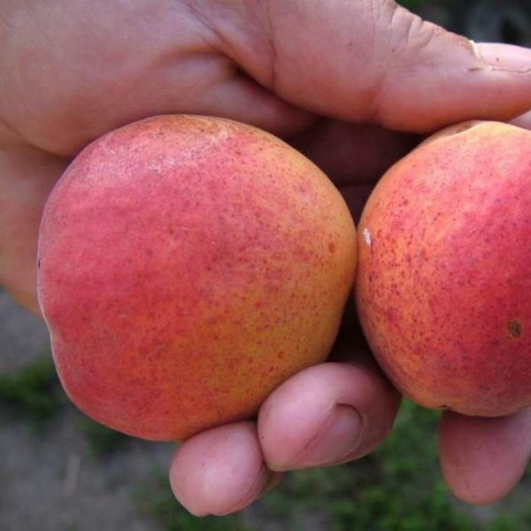 Саженцы абрикоса Крупноплодный Дуки