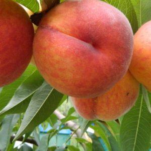 Саженцы персика Мостицкий ранний