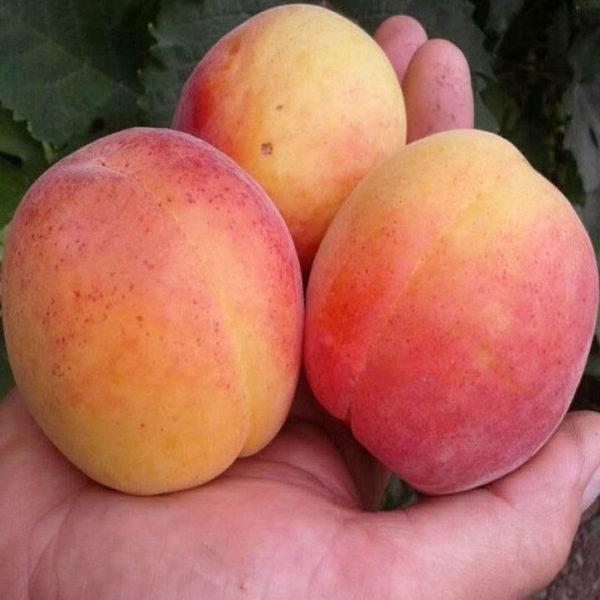 Саженцы абрикоса Энджой 19
