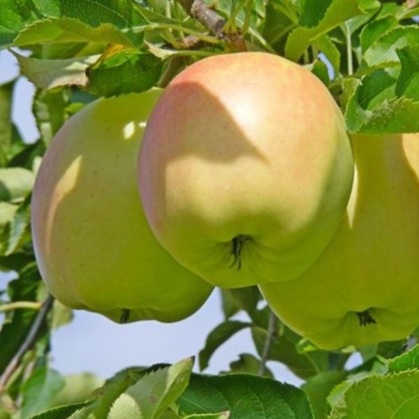 Саженцы яблони Пепенка