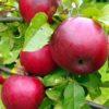 Саженцы яблони Перлына Киева