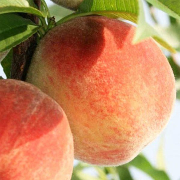 Саженцы персика Первисток