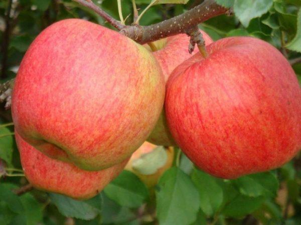 Саженцы яблони Пирос