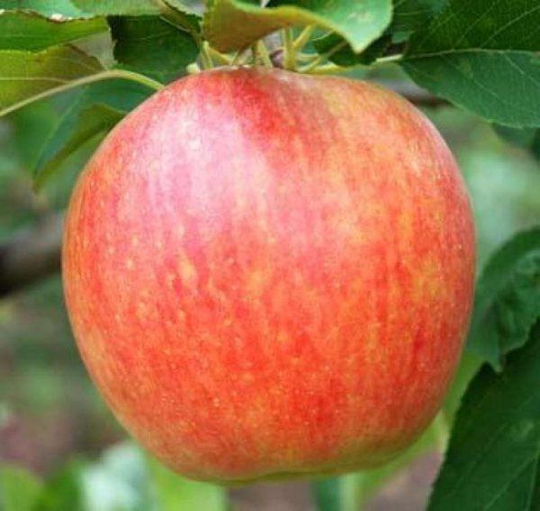 Саженцы яблони Радогость