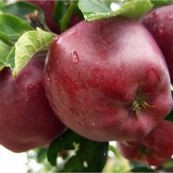 Саженцы яблони Ред Чиф