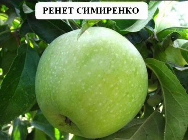 Саженцы яблони Симеренко