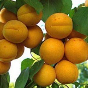 Саженцы абрикоса Робада