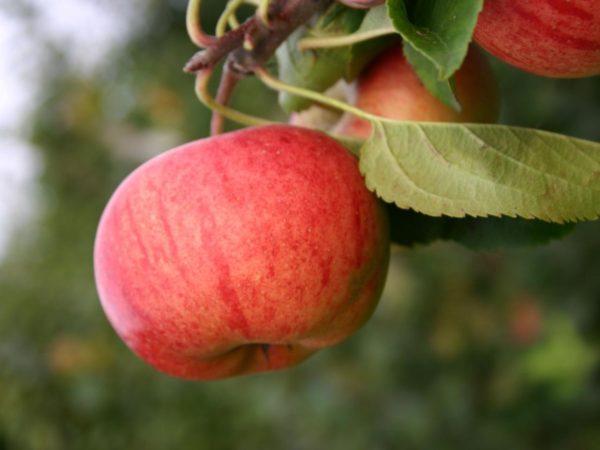 Саженцы яблони Рубинола