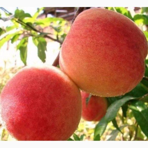 Саженцы персика Санкрест