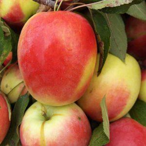 Саженцы яблони Синап Алматинский