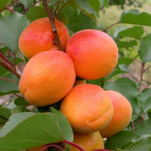 Саженцы абрикоса Спринг Блаш