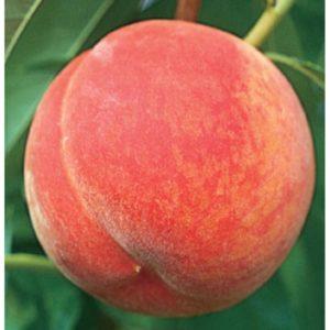 Саженцы персика Топ Свит Т-5