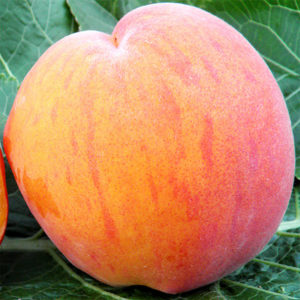 Саженцы персика Вайн Голд