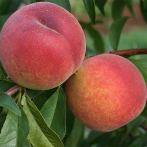 Саженцы персика Веллинг