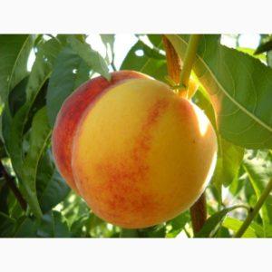 Саженцы персика Золотая Москва